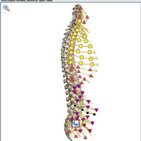 Spinal_nerves