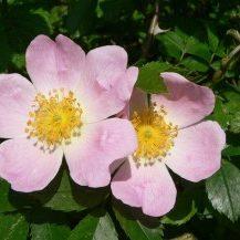 Wild-Rose-300x2171